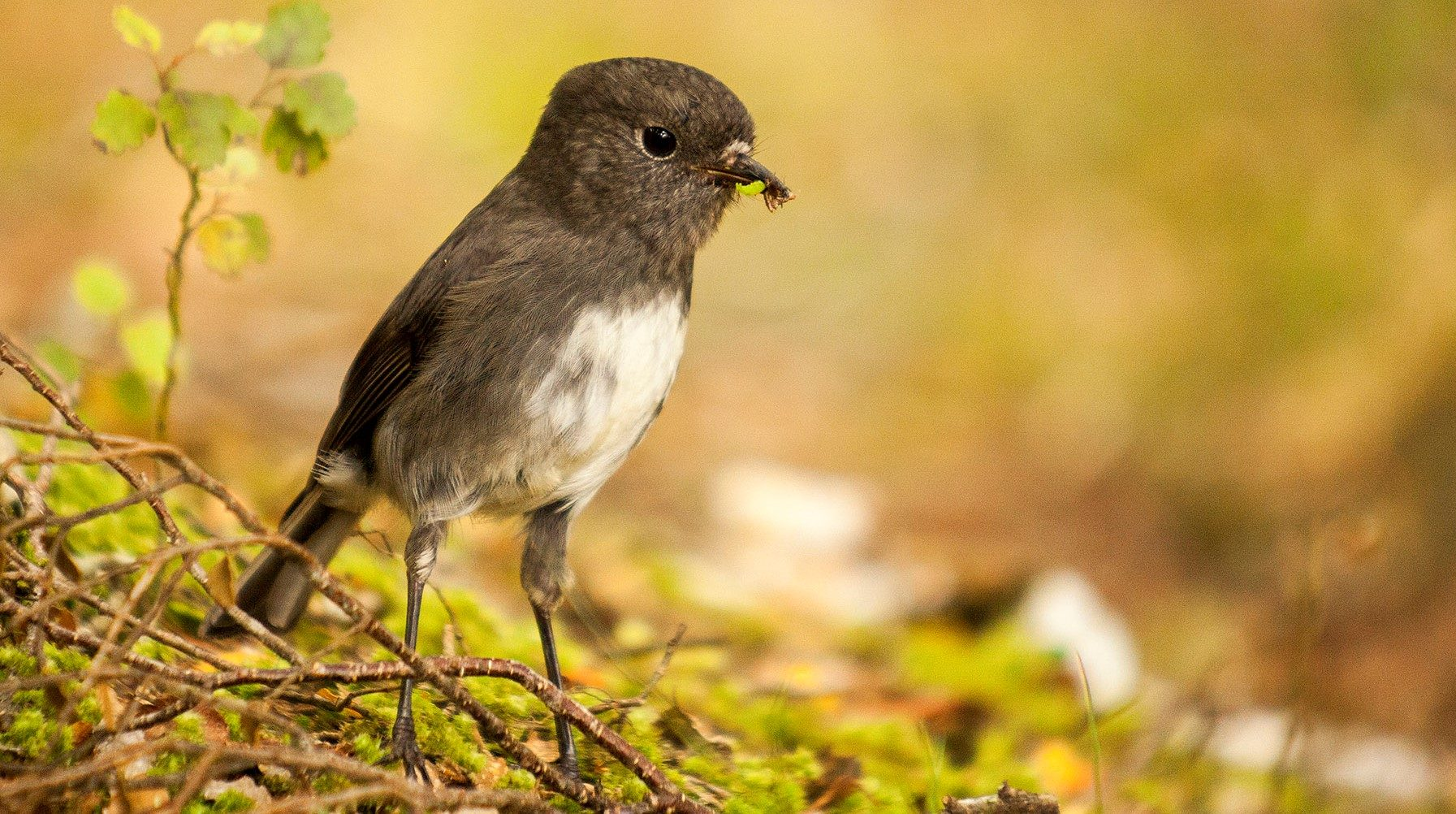 Small bird on the forest floor with an insect in its mouth