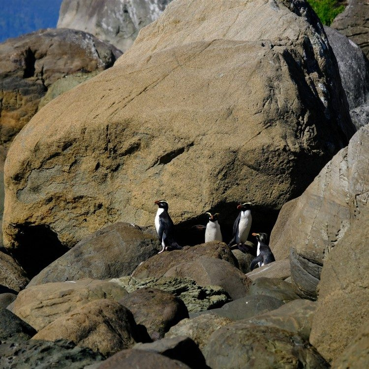 Fiordland crested penguins can be found at Long Reef along the remote coast