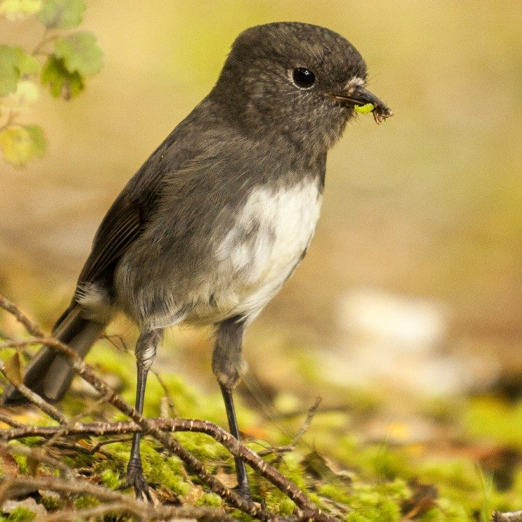Curious bush robins are found at the lower levels