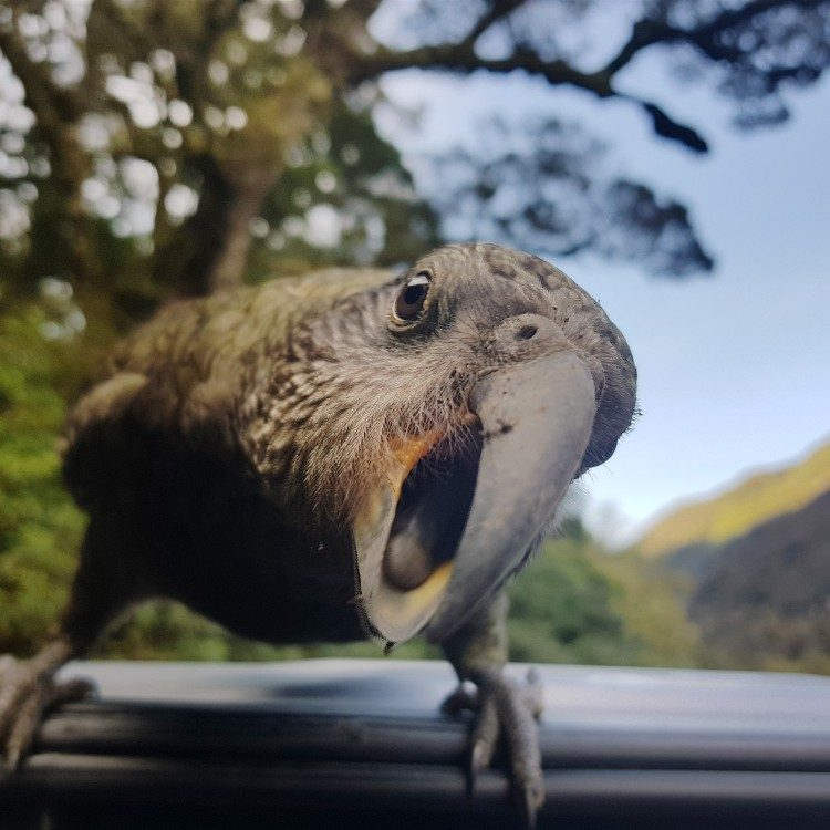 A curious kea greets our vehicle at the divide car park